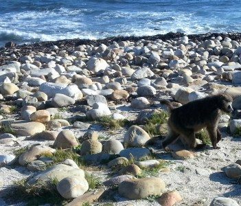 Baboon foraging for food at Cape of Good Hope