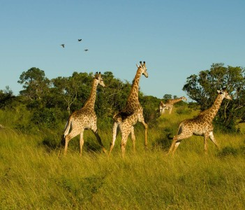 Giraffe Sprint