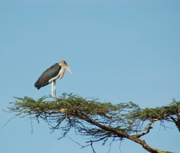 Maroub stork at Serengeti.