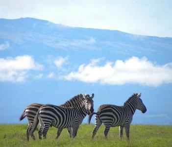 Zebras in front of Mount Kenya