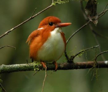 Pigmy kingfisher
