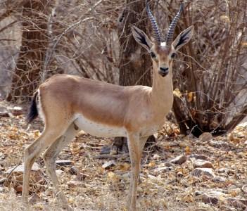 Chinkara in Ranthambore National Park