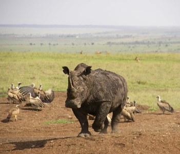 Rhino is Nairobi National Park
