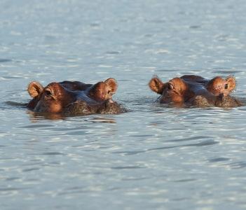 Hippo in Lake Chamo Nechisar National Park Ethiopia Africa