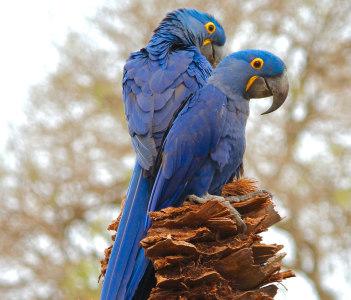pantanal bird watching