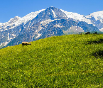 Panorama of Mont Blanc with a sheep Les Houches France