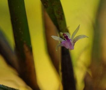 Wild Amazon Orchid