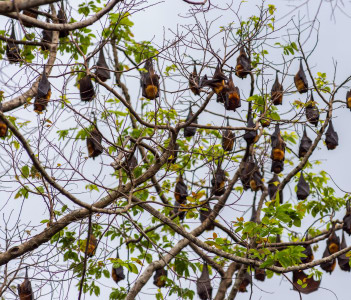 A tree full of roosting flying foxes aka fruit bats during the day time with forest jungle of the Philippines