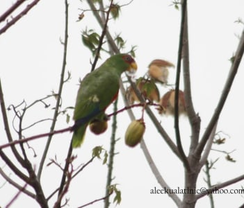 white fronted parrot