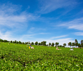 People harvesting tea on a tea plantation, Kericho, Kenya