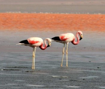 Flamingos en la Laguna Colorada