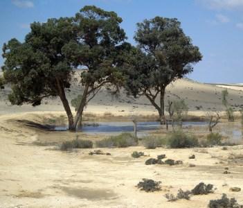 Blueprint Negev trees in the Israeli desert