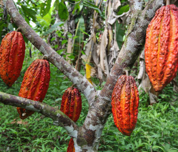 A detail view of hanging cocoa pods on a tree in Huayhuantillo village near Tingo Maria in Peru