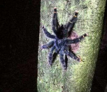 amazon tarantula
