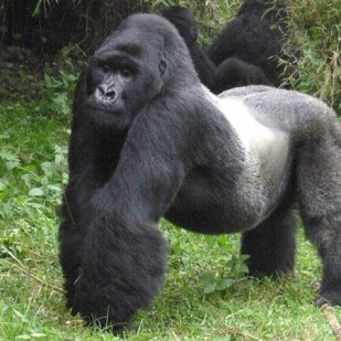 The Grate Ape of Uganda