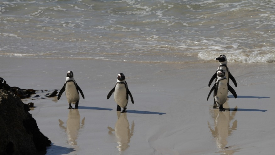 Penguins returning from the sea