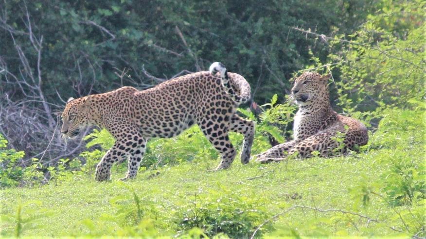 Leopards on Yala National Park- One Day Trip