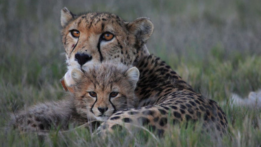 Baby and Mom Cheetah