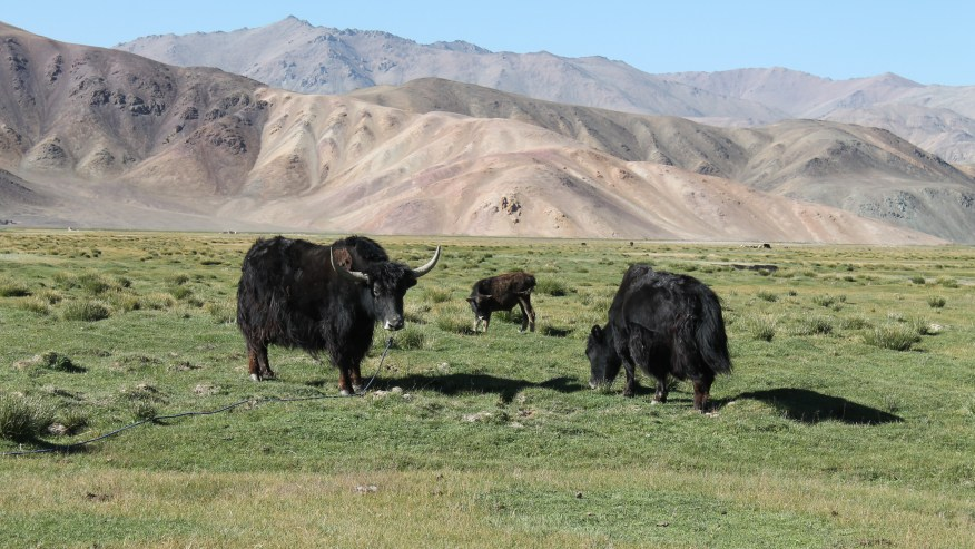Yaks at theborder with Afghanistan