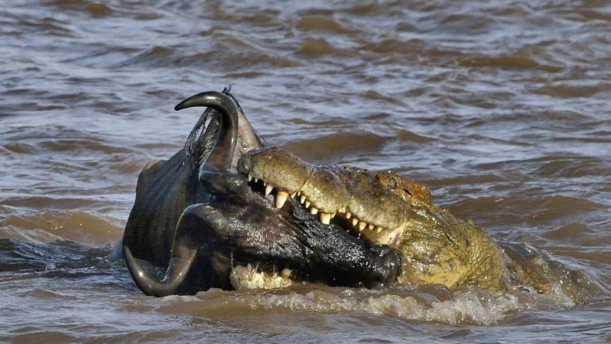 Crocodile feasting on wildebeest