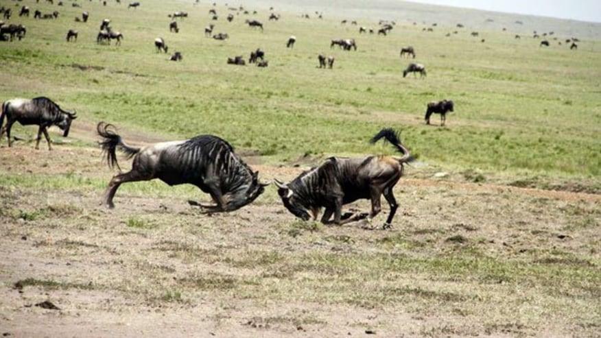 Wildebeest fight