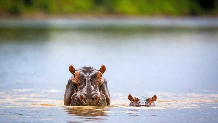 Meet Hippos in Nechisar