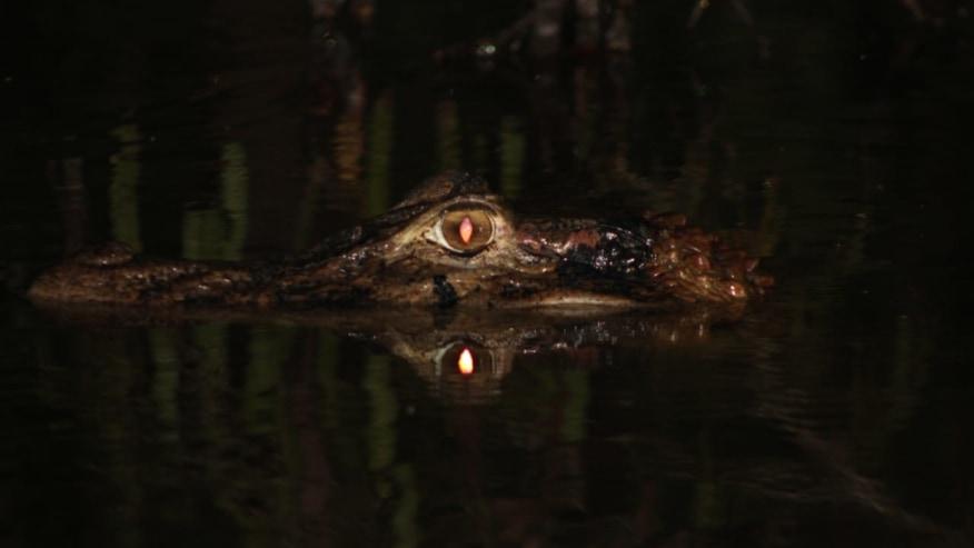 Black caiman eyes at Lake Sandoval tour