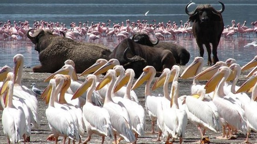 Flamingoes & WIld buffaloes