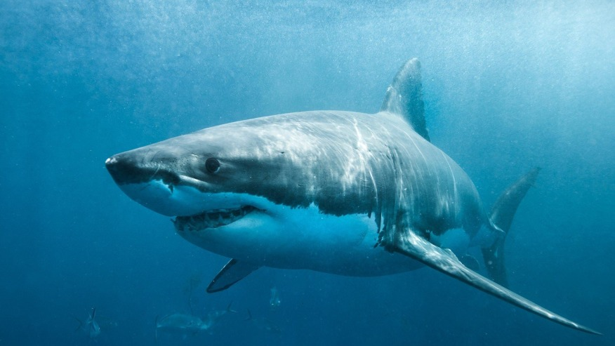 Great White Shark Cage Diving Viewing Tour