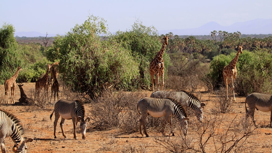 giraffes and zebras grazing