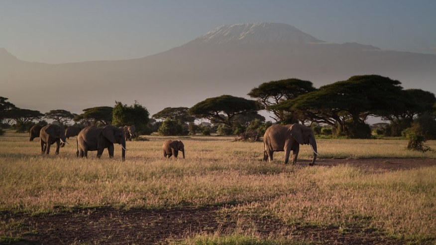 Herd of elephants roaming in park with view of Mount Kilimanjaro
