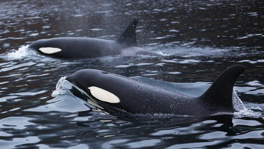 Stumble across a tour group of Orcas on their human watching expedition