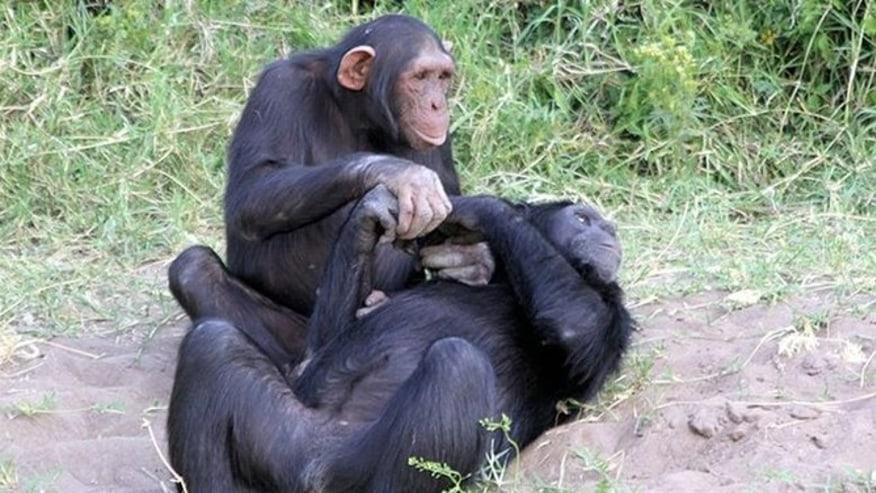 See Chimpanzees at Ol Pejeta Conservancy