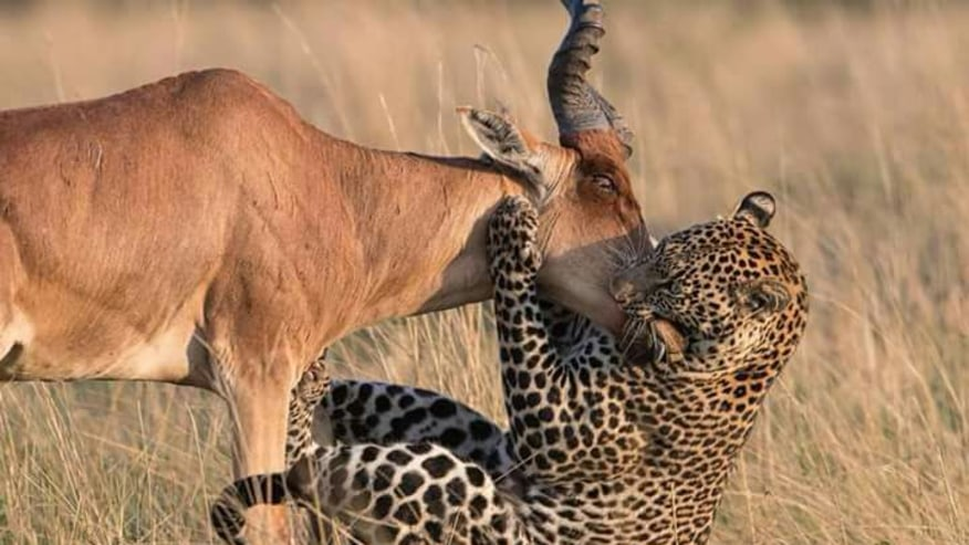leopard on a hunt