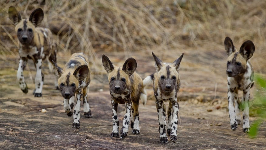 Wild  dogs on a hunt