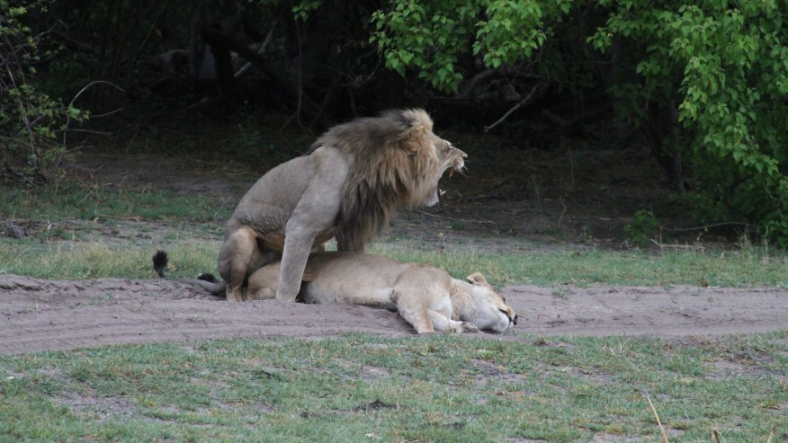 lion and lioness in Moremi