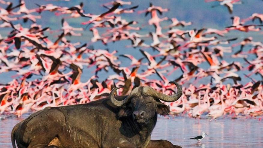 pink flamingos and buffalo