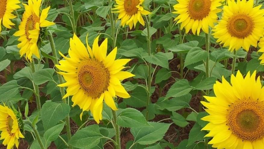 Sunflower Fields of Carmona