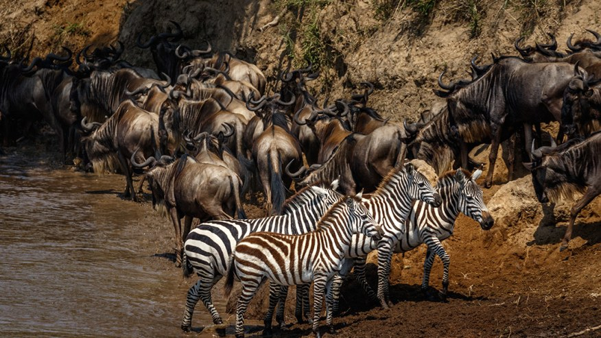 Zebra and Wildebeest migration