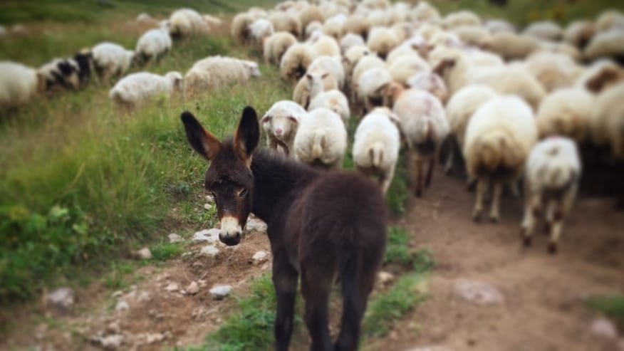 Mule and sheep