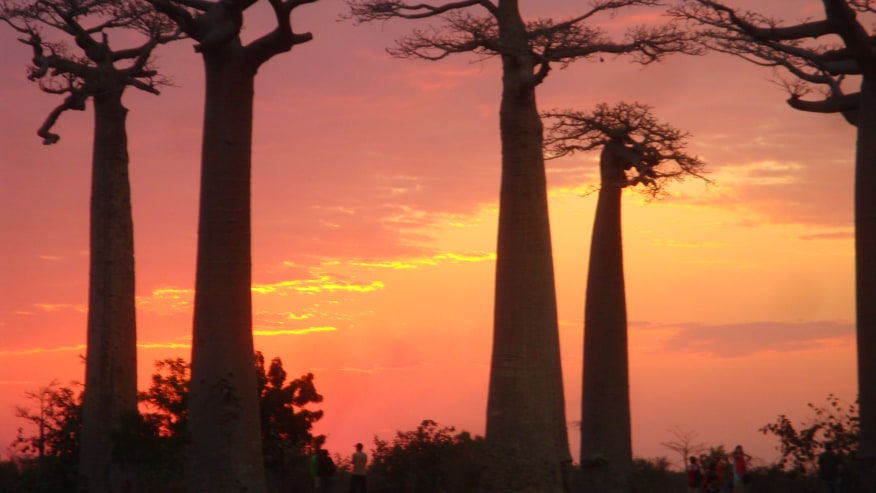 Baobab trees and the sunset