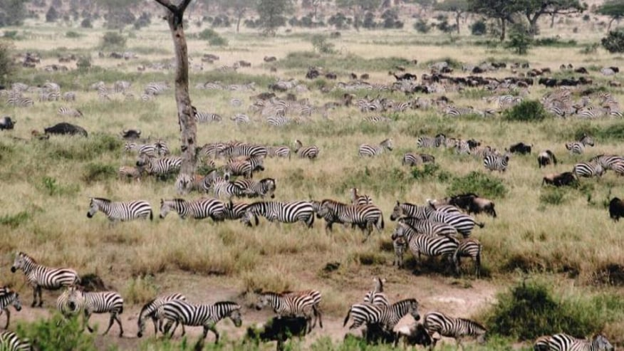 wildebeests and zebras on their migration