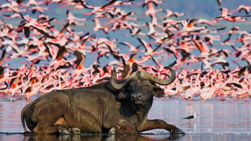 Flamingos and Buffalo at Lake Nakuru Park, Kenya