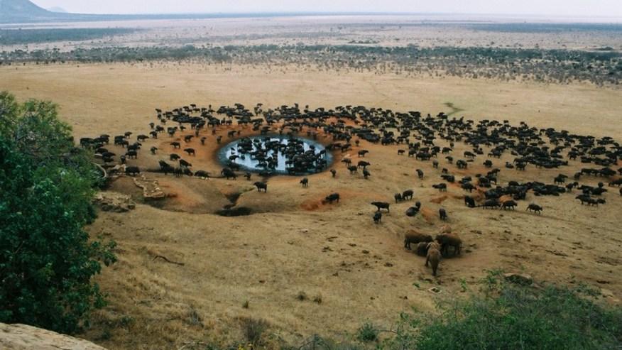 Buffalos in Lions Bluff Sanctuary