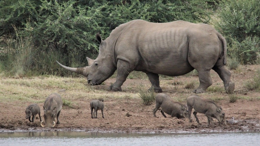rhinos and warthogs