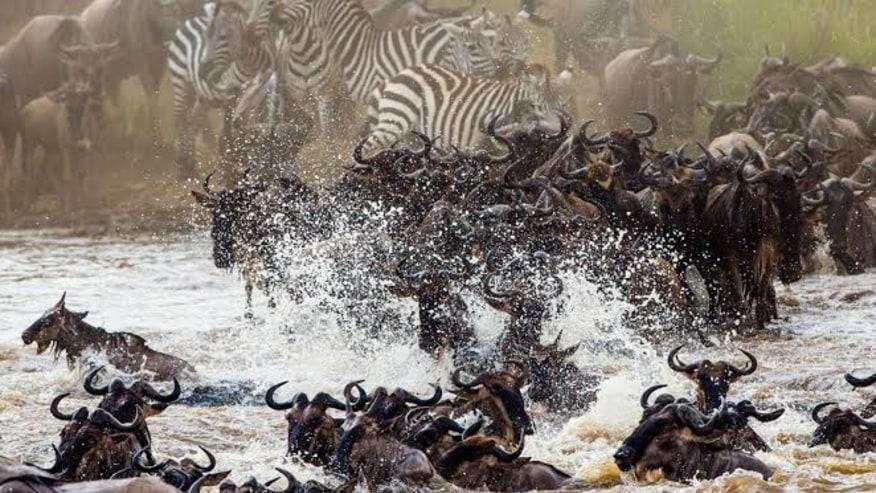 Wildebeests and zebras migrating