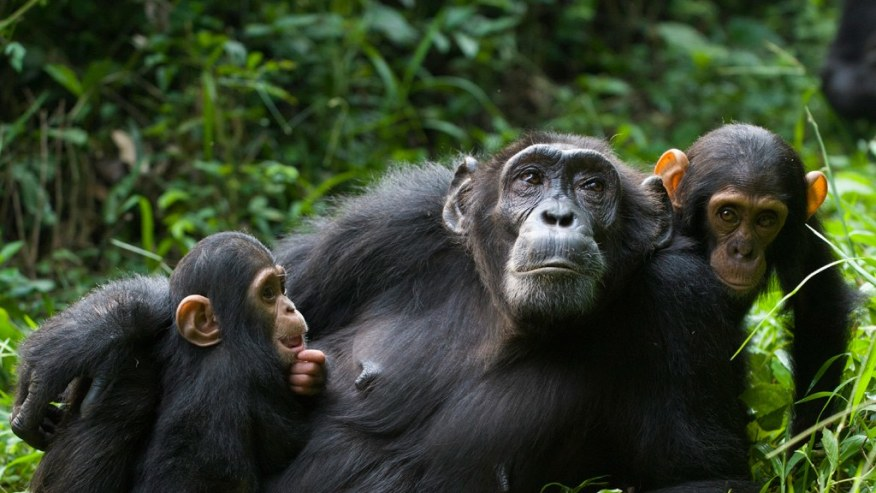 Primates tours in Rwanda; Gorilla and Chimpanzee tracking experience
