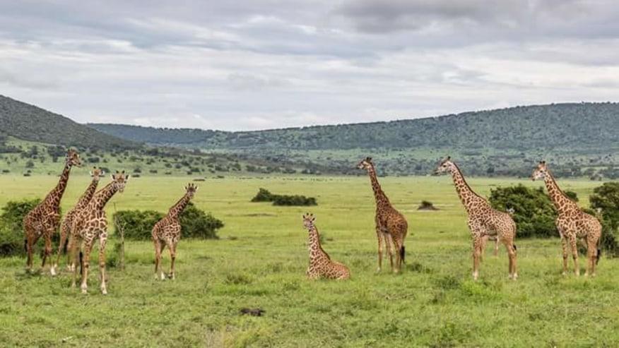 Giraffes herds