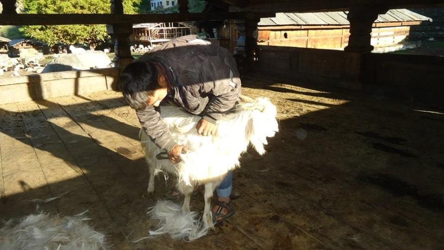 shaving the goat