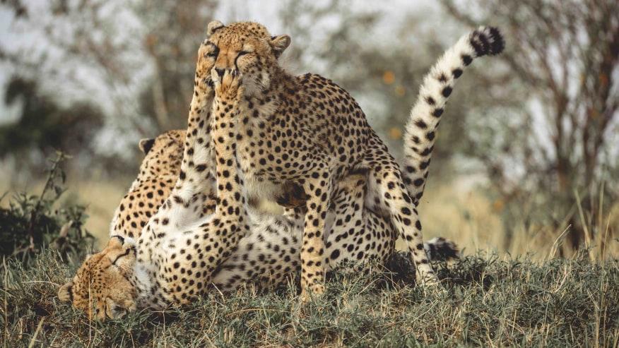 Cheetahs playing in the Mara